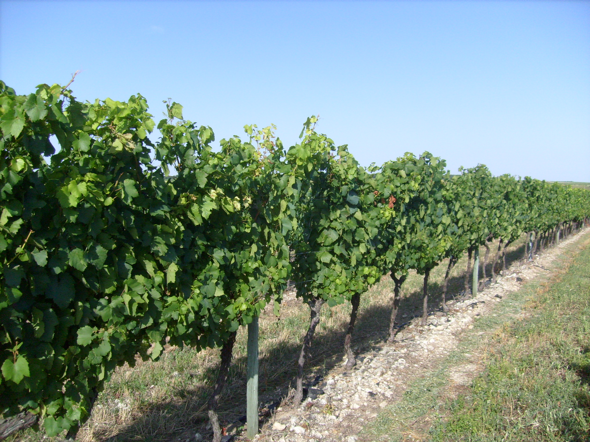 Les vignobles de Charente-Maritime 3